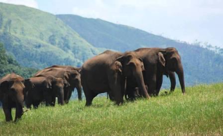 elephants-thekkady