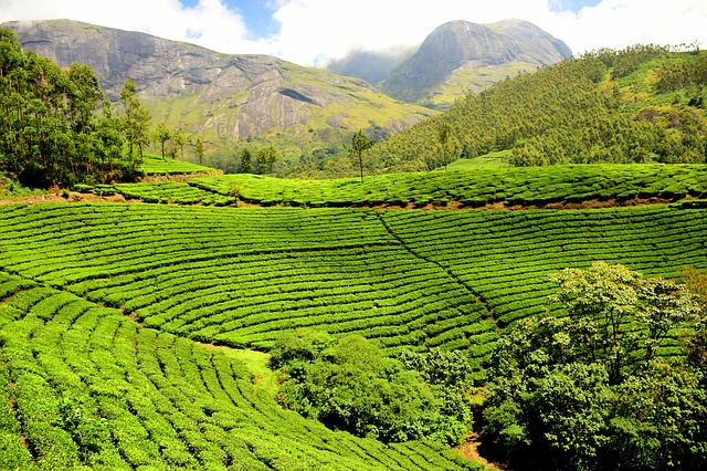 tea-plantation-1751369_640